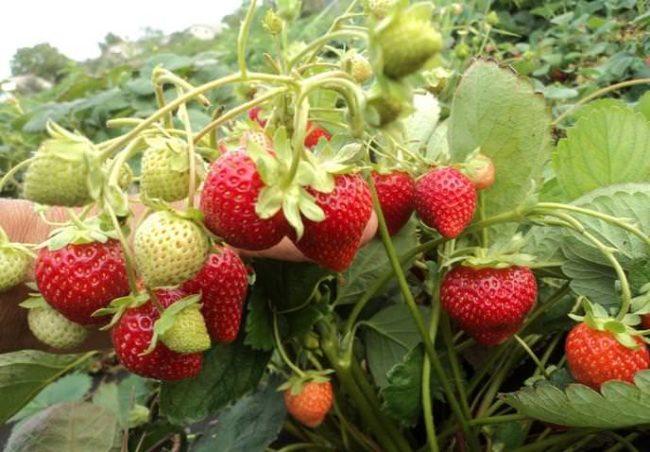 Кисти клубники Капри с ягодами