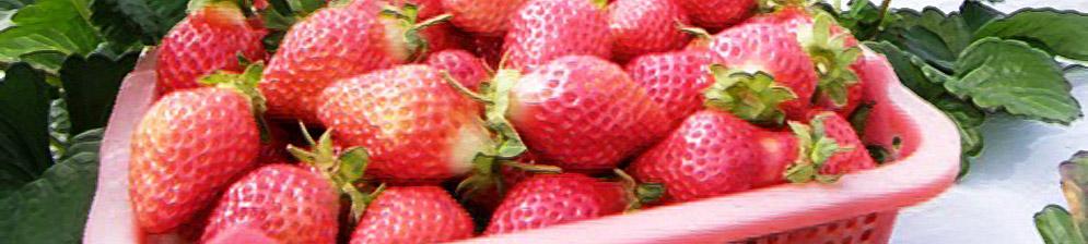 Плоды сорта клубники Капри вблизи в плошке