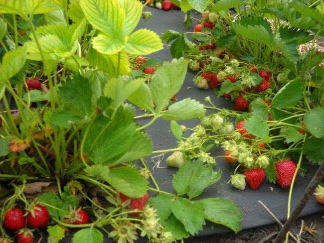 Кусты клубники Клери с ягодами в разгар плодоношения