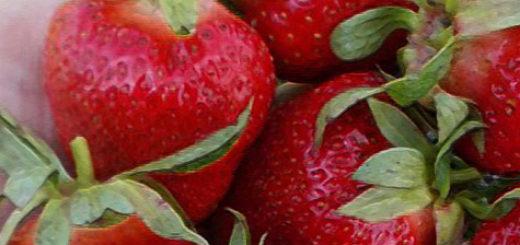 Большие и спелые плоды клубники Клери