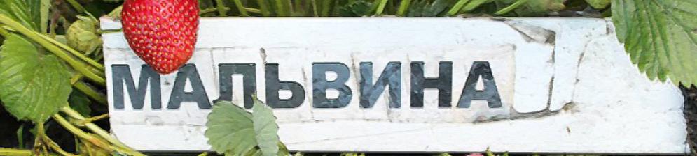 Спелый плод клубники Мальвина и табличка с названием сорта