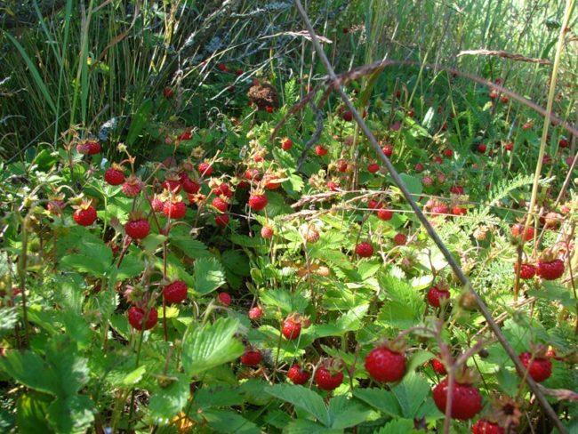 Заросли клубники и спелые ягоды