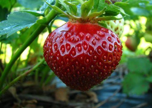 Крупная спелая ягода сорта Полька вблизи