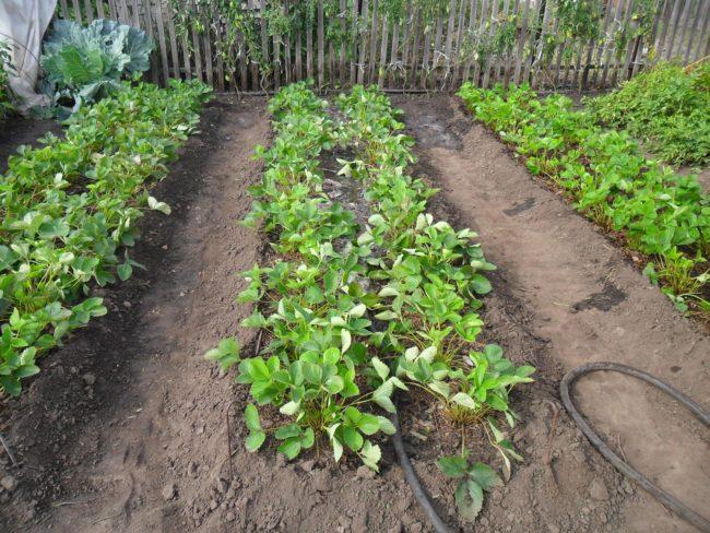 Клубника посаженная в саду грядками с большим расстоянием