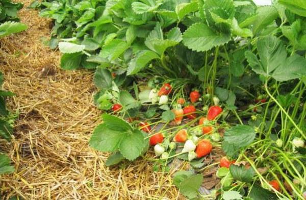 Густые кусты клубники сорта Альба с назревающими ягодами