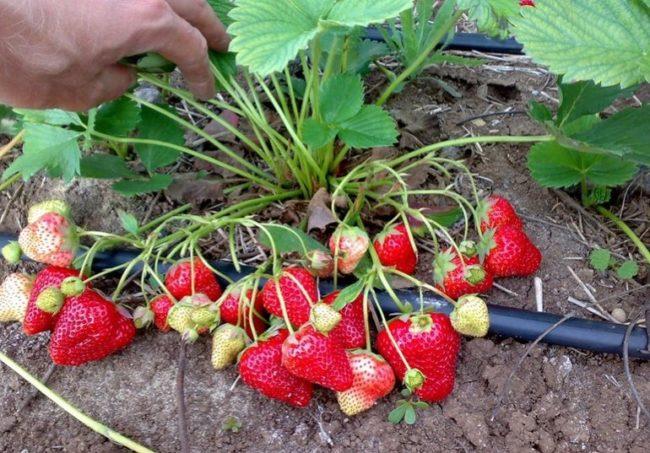 Кустик клубники и созревающие ягоды на нём