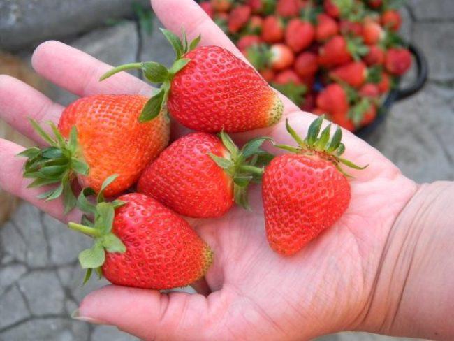 Спелые и крупные ягоды садовой клубники на ладони садовода