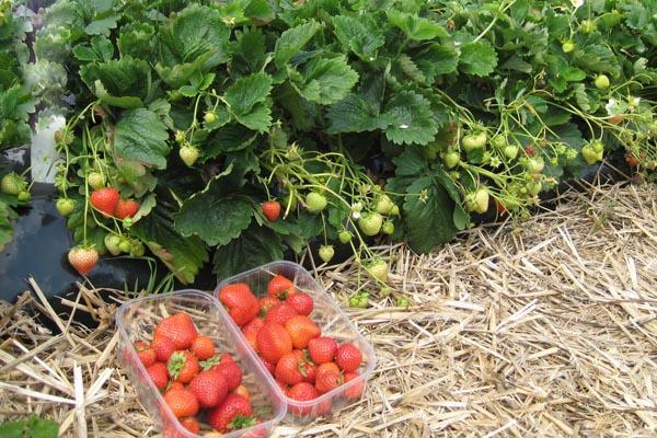 Собранные с куста в коробки ягоды клубники