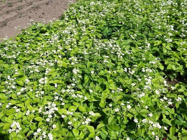 Цветущая плантация садовой клубники