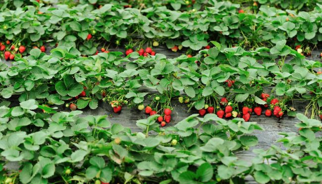 Кусты клубники растущие в саду