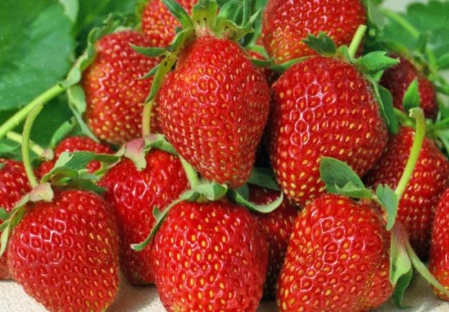 Продолговатые ягоды клубники сорта Альбион