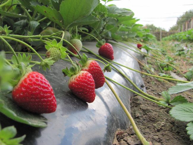 Крупные ягоды клубники сорта Альбион на черном укрывном материале
