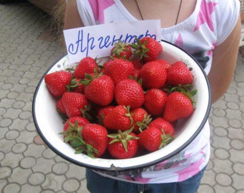 Чашка с ягодами клубники сорта Аргентера