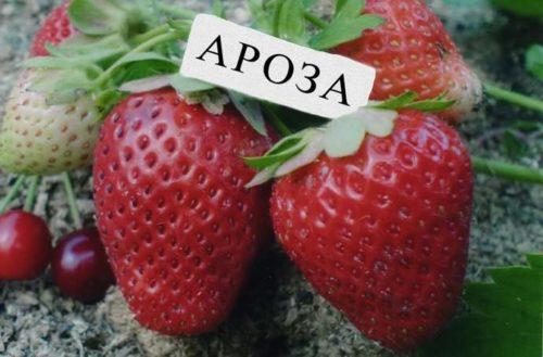 Две крупные ягоды клубники сорта Ароза ярко красного цвета