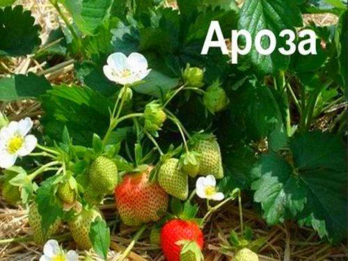 Куст садовой клубники Ароза с назревающими ягодами и два крупных цветка