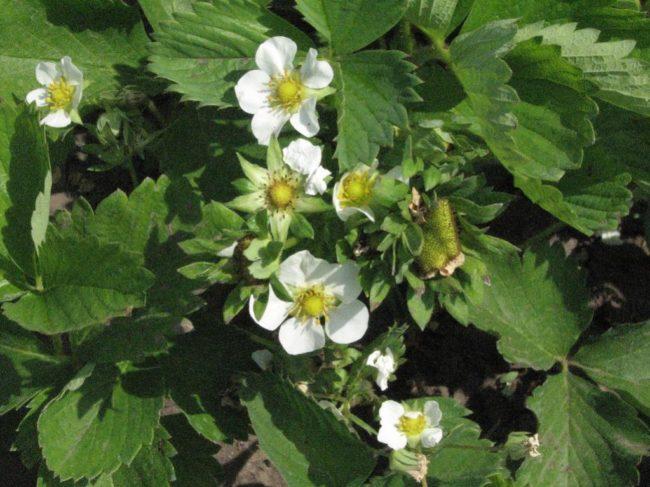 Соцветия клубники Ароза крупным планом, цветение ремонтантной клубники в конце мая