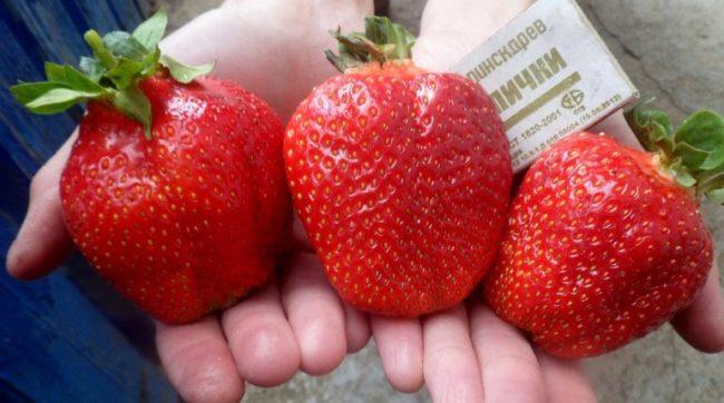 Большие ягоды клубники сорта Азия и спичечный коробок