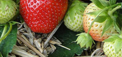 Плоды полевой клубники на мульче в Белоруссии