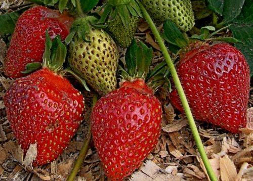Конусовидные плоды клубники Царица