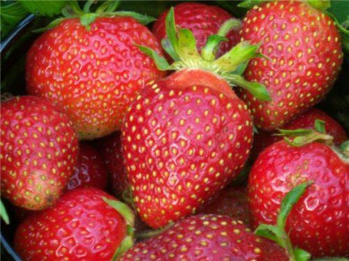 Крупные ягоды клубники сорта Царица