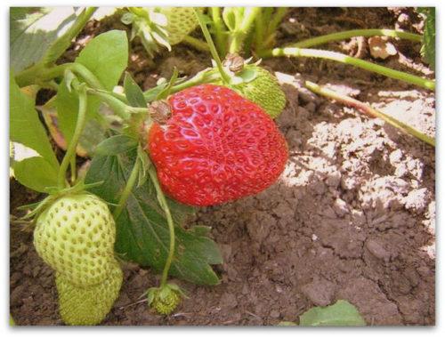 Красная и зеленая ягоды клубники