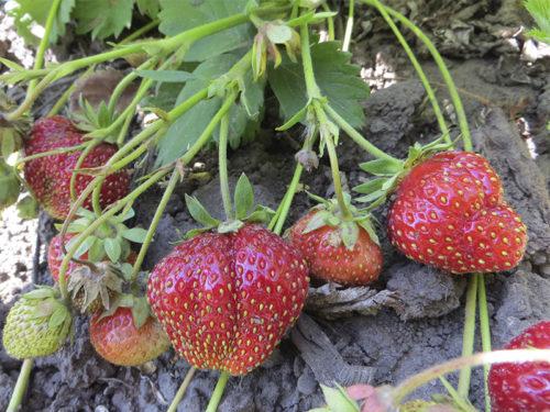 Куст клубники Царица с ягодами красного цвета