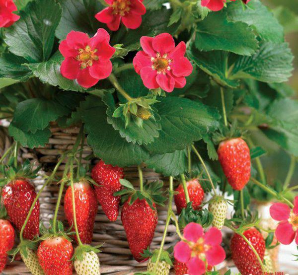 Ампельная клубника сорта Чаровница с ягодами