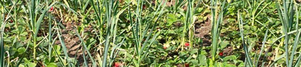 Соседство клубники и чеснока на одной грядке