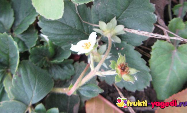 Ремонтантная клубника цветёт осенью