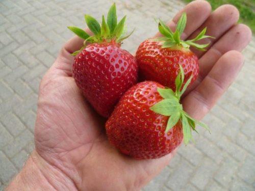 Три спелые ягоды клубники сорта Дарселект