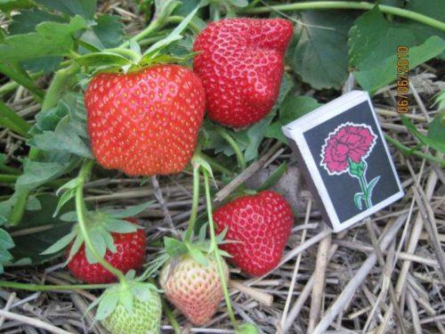 Размеры плодов клубники Дарселект