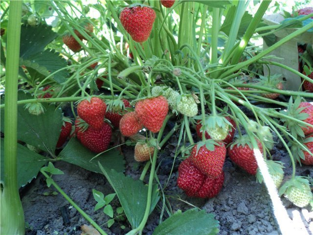 Куст клубники Дарселект с ягодами