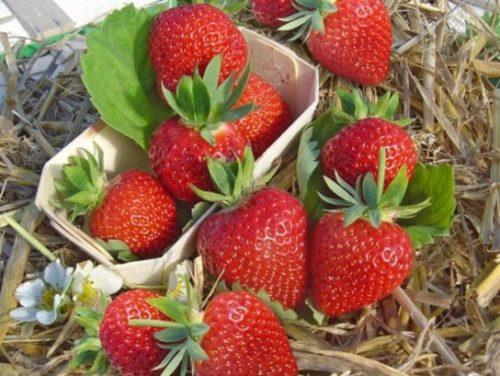 Собранные с куста ягоды клубники