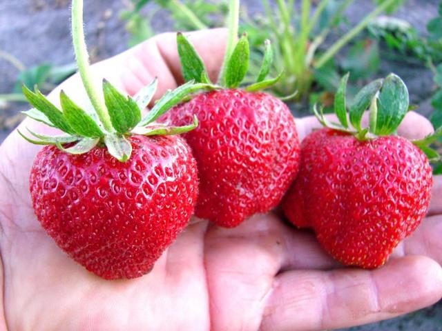 Три крупные ягоды клубники Дарселект