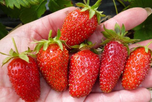 Вытянутые ягоды клубники Дивная