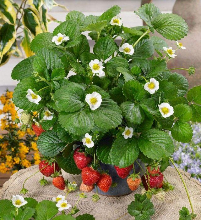 можно ли выращивать дома ремонтантную клубнику
