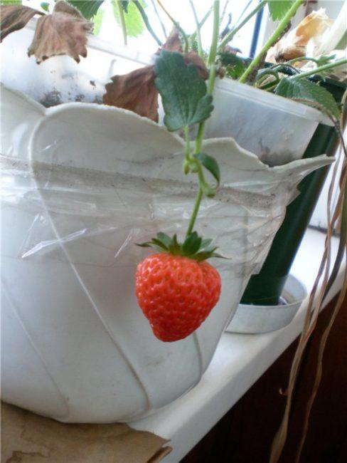Ягодка клубники Флорина на домашнем кустике