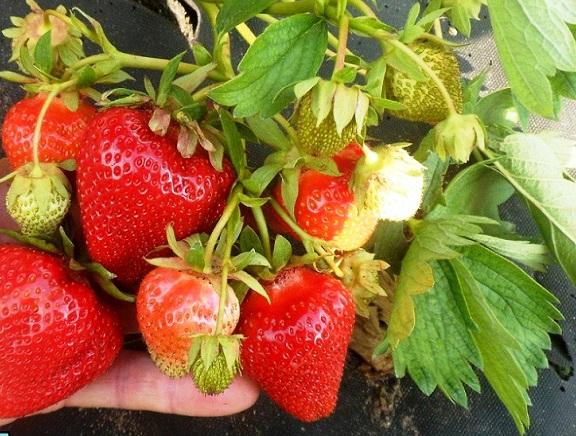 Ветка клубники сорта Джоли с ягодами