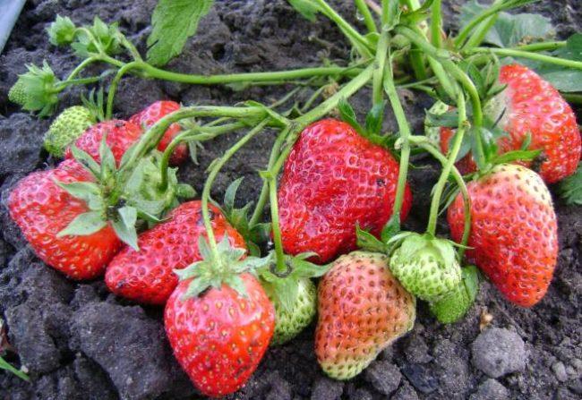Крупные ягоды ремонтантной клубники нейтрального светового дня сорта Елизавета 2