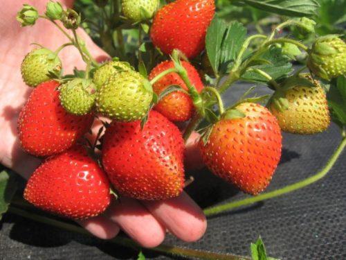 Спеющие плоды клубники сорта Фенелла