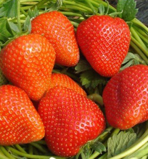 Плоды клубники в форме раздутого конуса