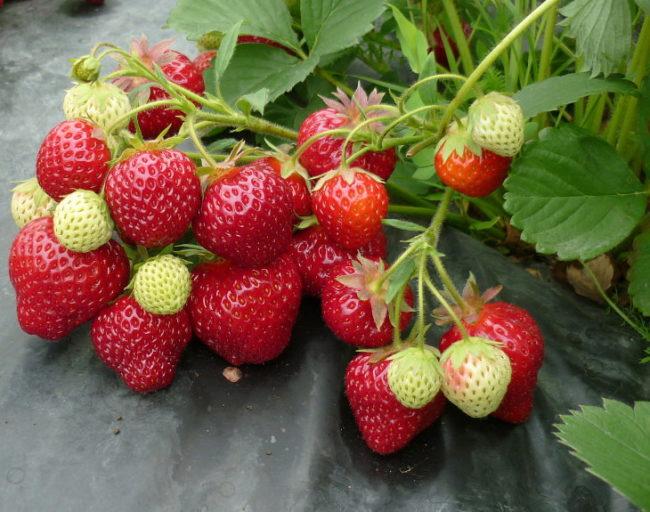 Кисти клубники Флорина со спелыми ягодами