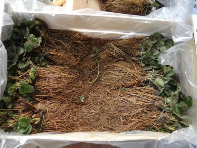 Ящик с рассадой фриго сорта Ароза для выращивания клубники на продажу