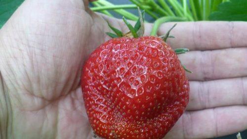 Очень крупная ягода клубники сорта Галя Чив