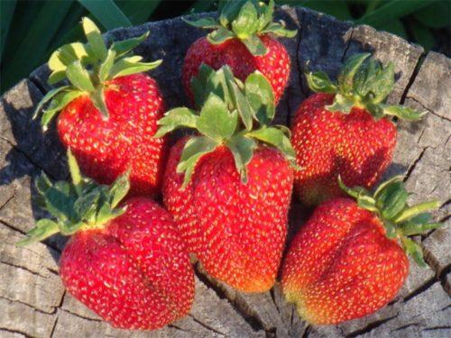 Спелые ягоды клубники Гаригуэтта
