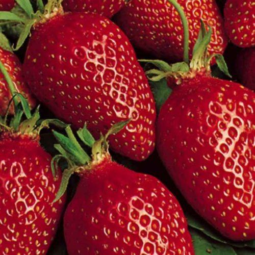 Плоды клубники Гаригуэтта