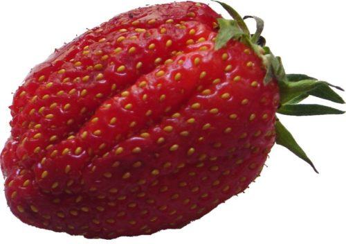 Крумная ребристая ягода клубники сорта Гаригуэтта
