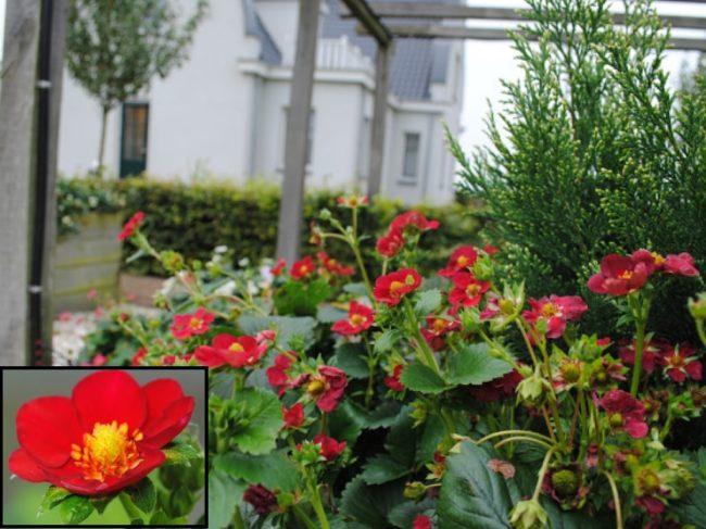 Цветущая клубника сорта Газана с яркими цветами