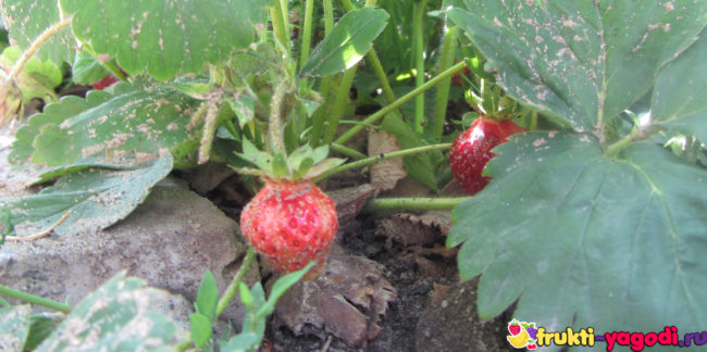 Плоды клубники в грязи от полива