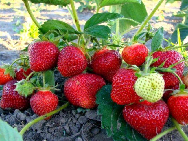 Куст клубники Хоней с ягодами